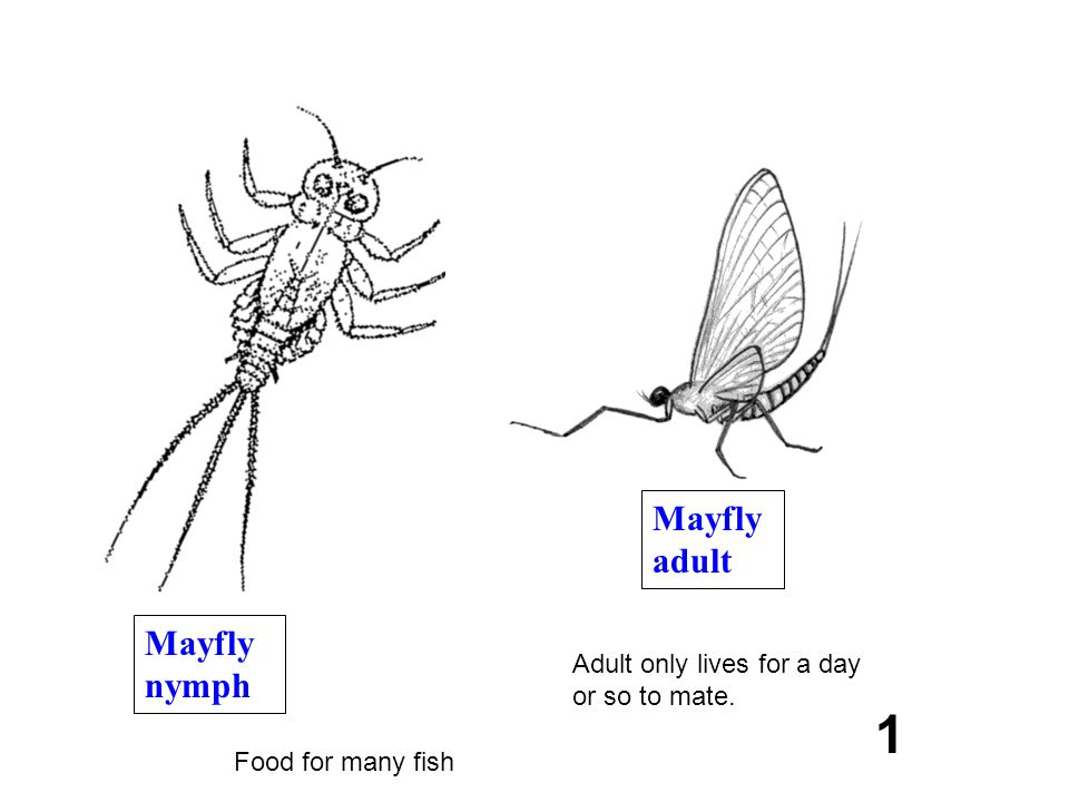 1 Mayfly adult Mayfly nymph Adult only lives for a day or so to mate.