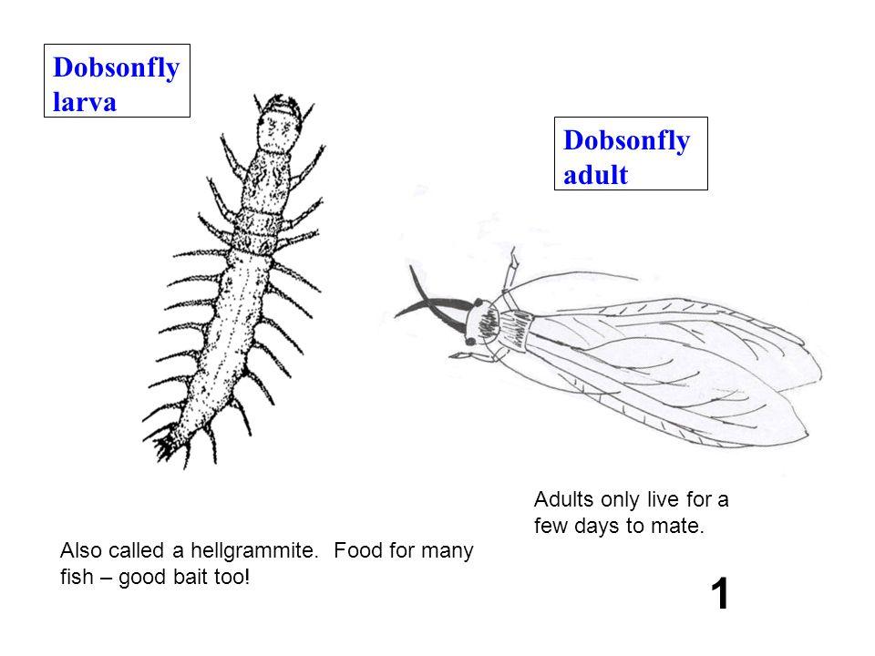 1 Dobsonfly larva Dobsonfly adult