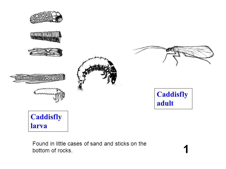 1 Caddisfly adult Caddisfly larva