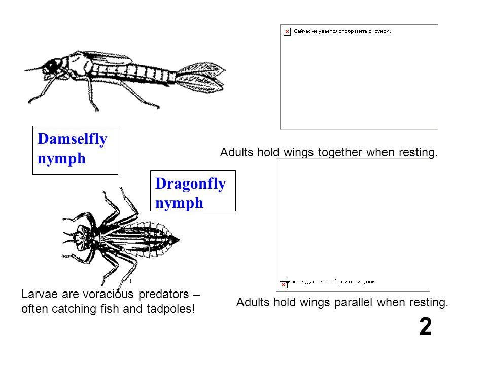 2 Damselfly nymph Dragonfly nymph