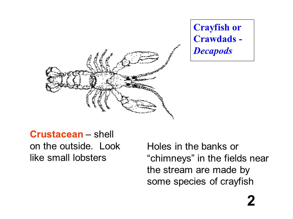 2 Crayfish or Crawdads - Decapods