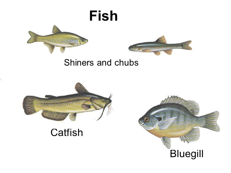 Fish Catfish Bluegill Shiners and chubs