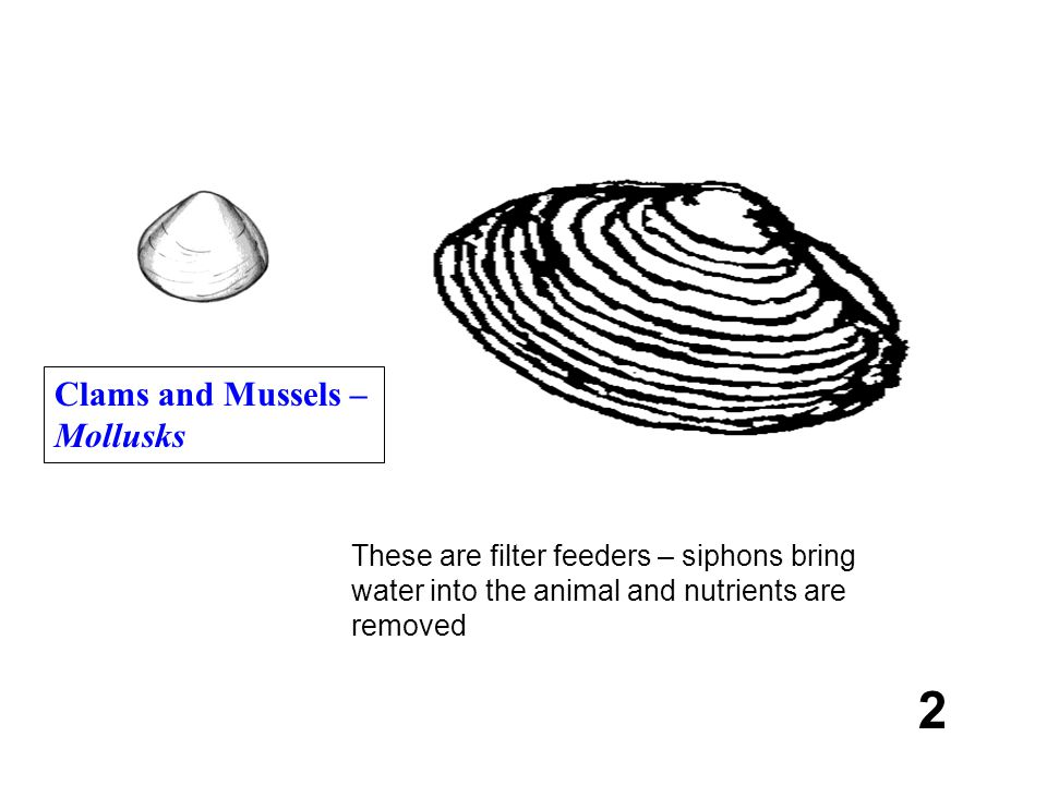 2 Clams and Mussels – Mollusks