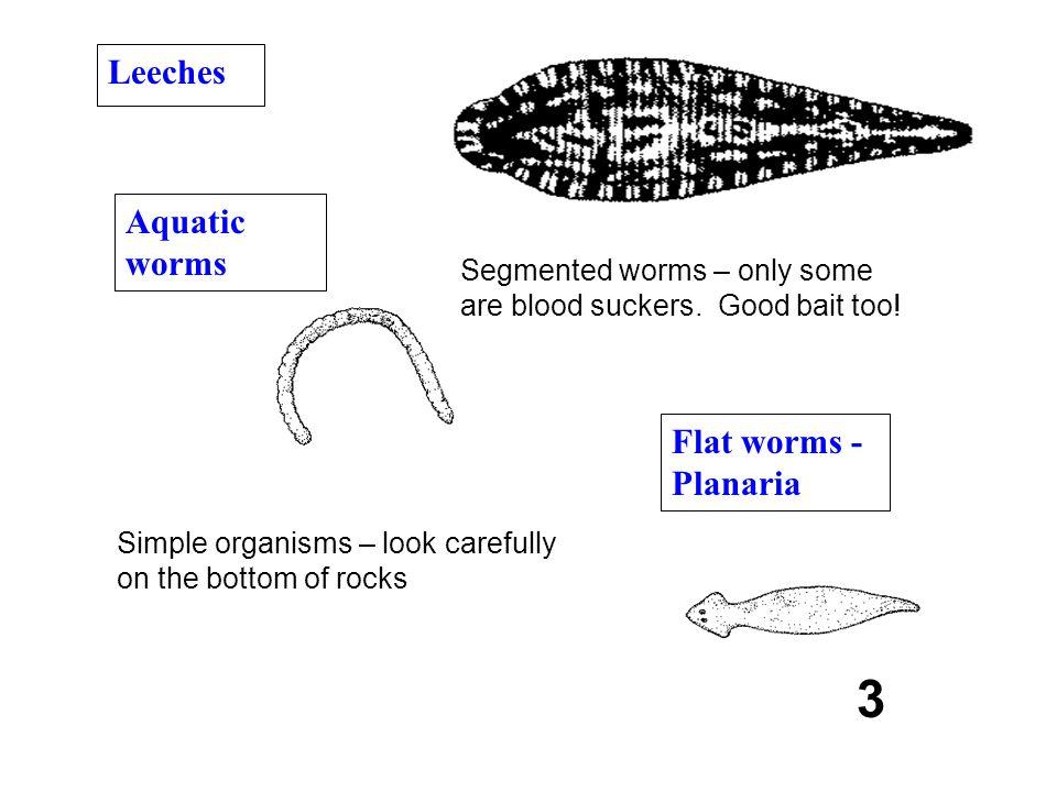 3 Leeches Aquatic worms Flat worms - Planaria