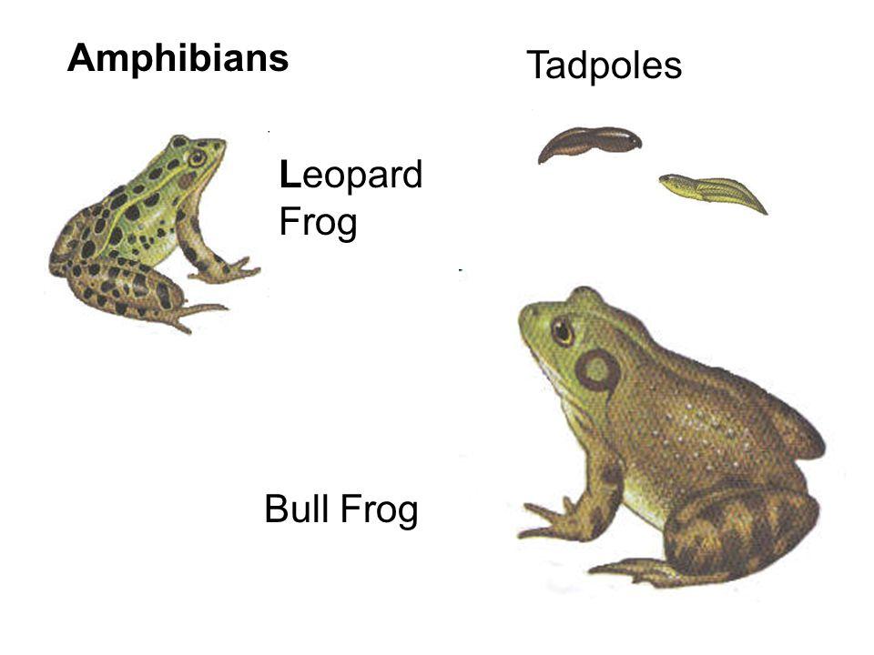 Amphibians Tadpoles Leopard Frog Bull Frog