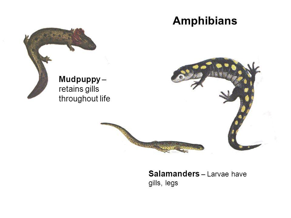 Amphibians Mudpuppy – retains gills throughout life