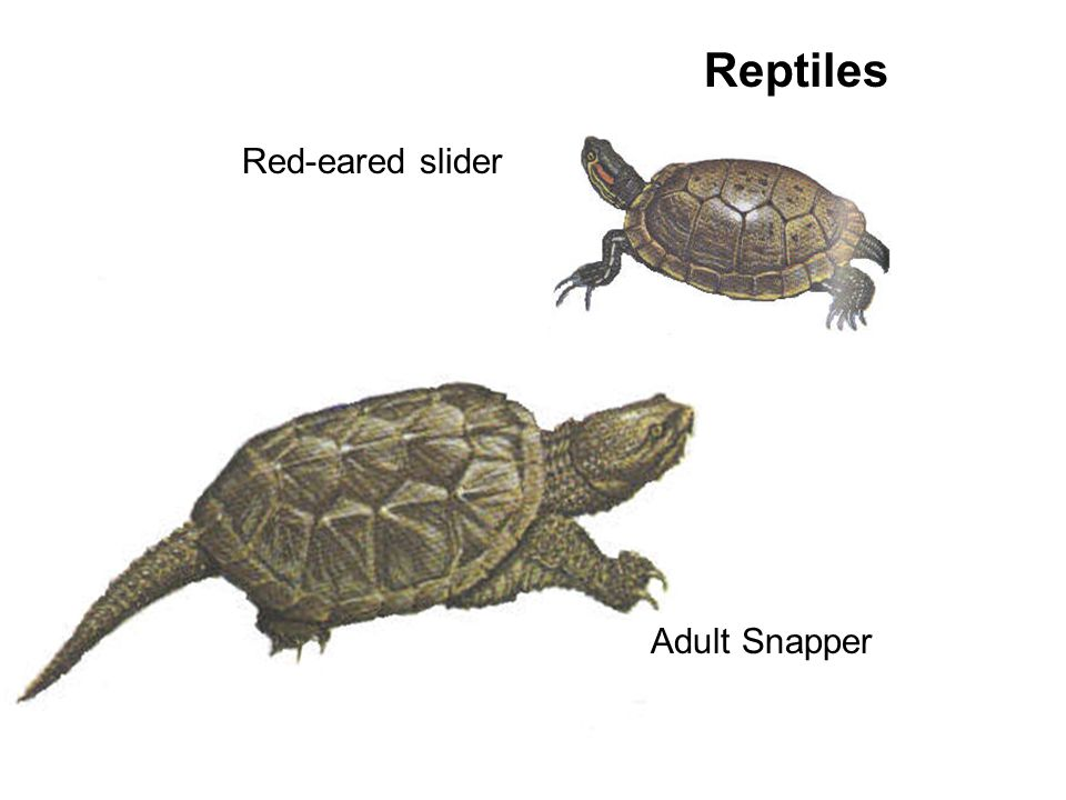 Reptiles Red-eared slider Adult Snapper