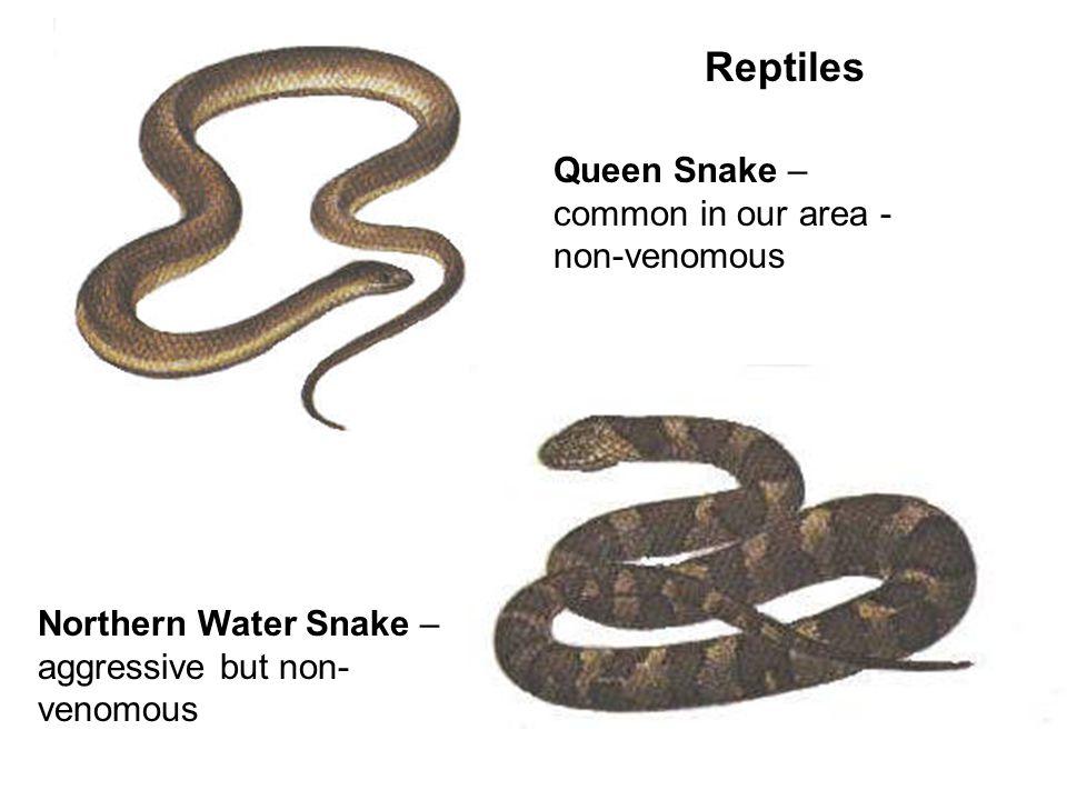 Reptiles Queen Snake – common in our area - non-venomous