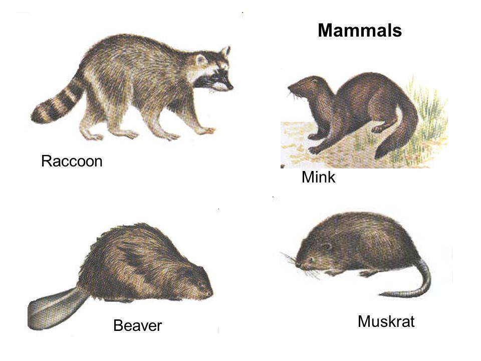 Mammals Raccoon Mink Muskrat Beaver
