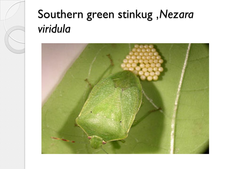 Southern green stinkug, Nezara viridula