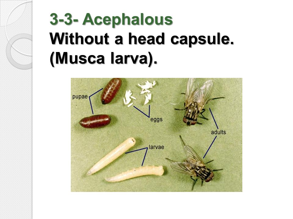 3-3- Acephalous Without a head capsule. (Musca larva).