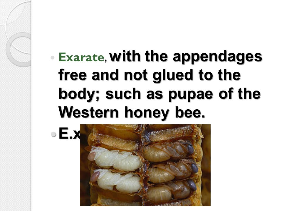 Exarate, with the appendages free and not glued to the body; such as pupae of the Western honey bee.
