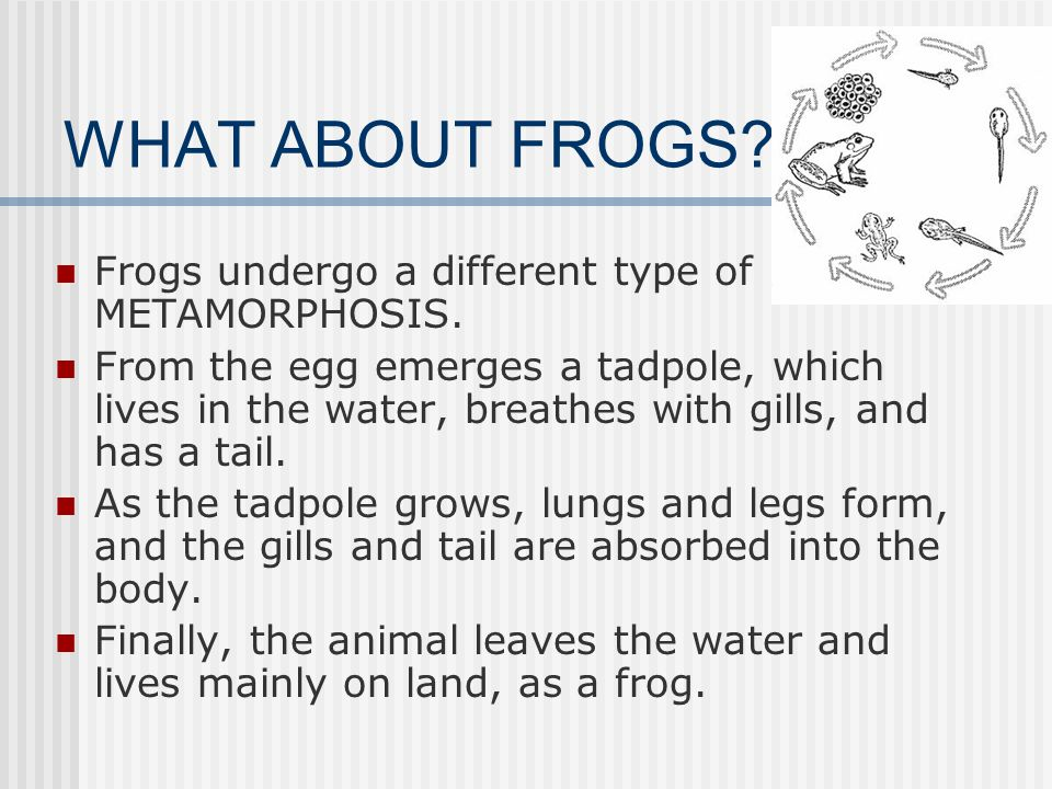 WHAT ABOUT FROGS Frogs undergo a different type of METAMORPHOSIS.