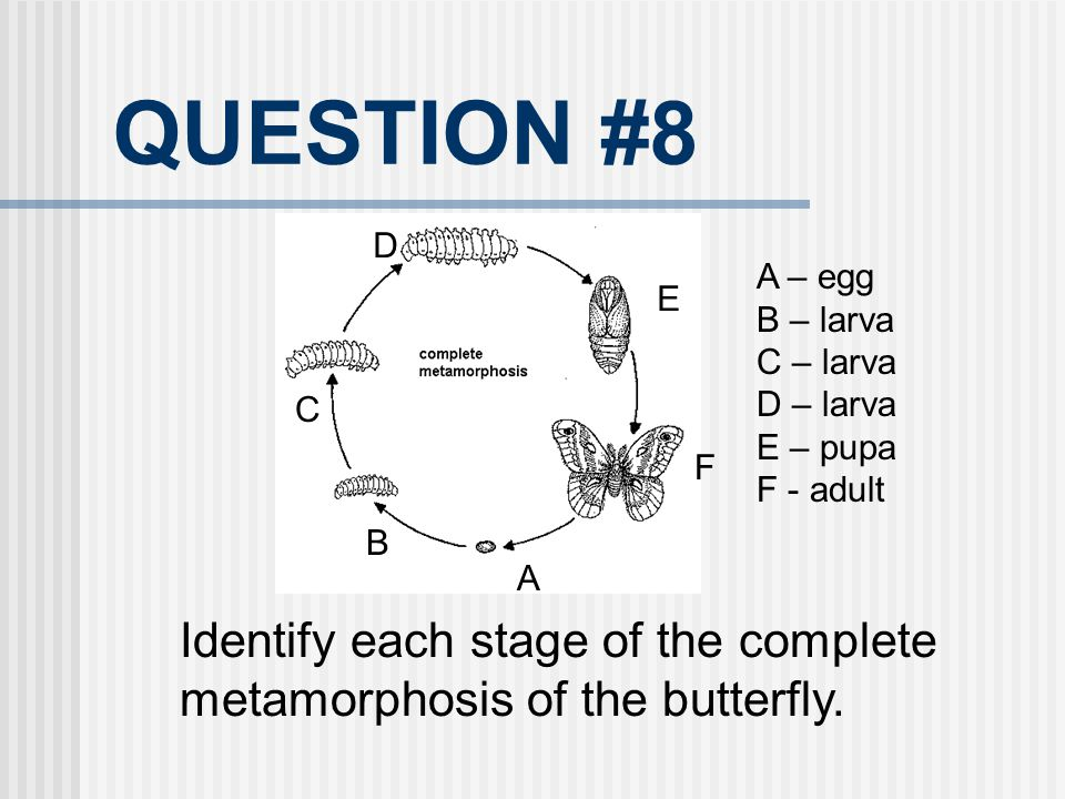 QUESTION #8 D. A – egg. B – larva. C – larva. D – larva. E – pupa. F - adult. E. C. F. B.