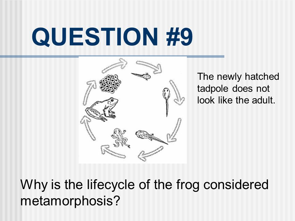 QUESTION #9 Why is the lifecycle of the frog considered metamorphosis