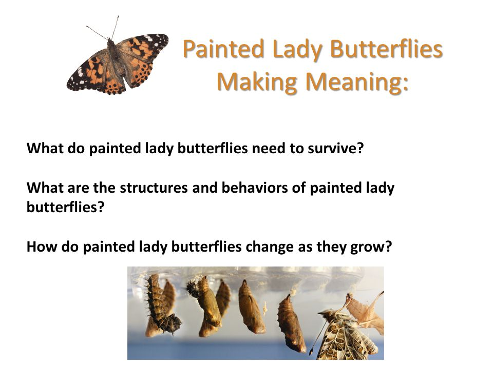 Painted Lady Butterflies Making Meaning: