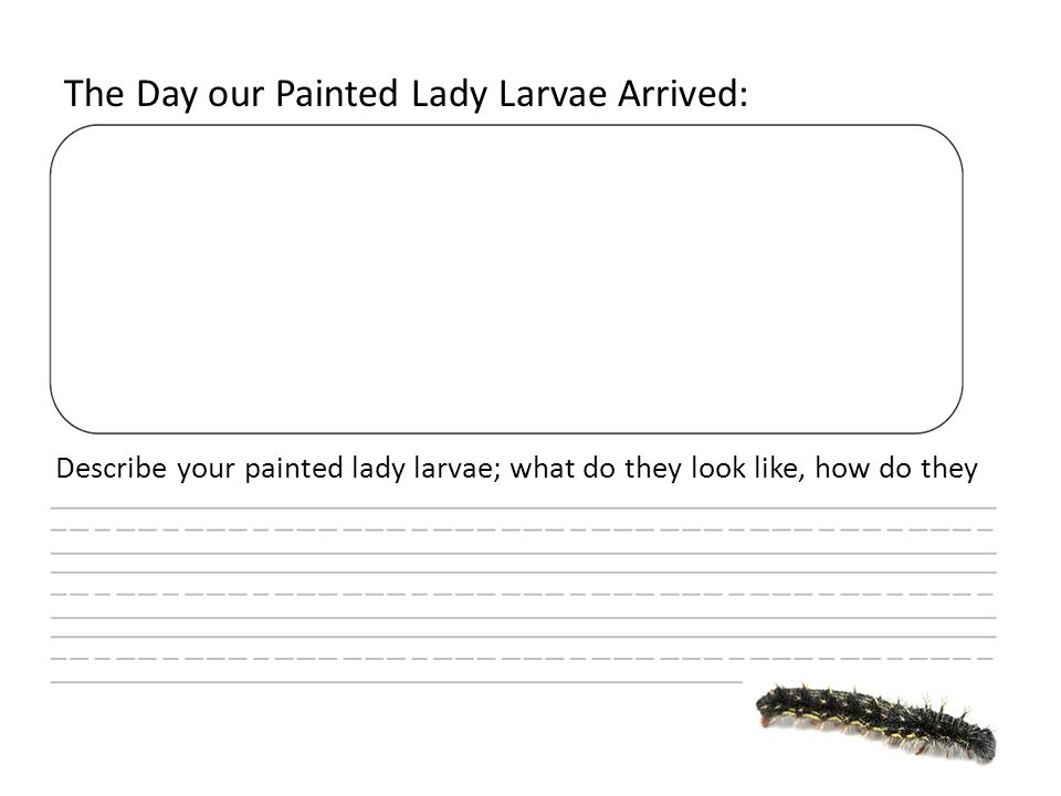 The Day our Painted Lady Larvae Arrived: