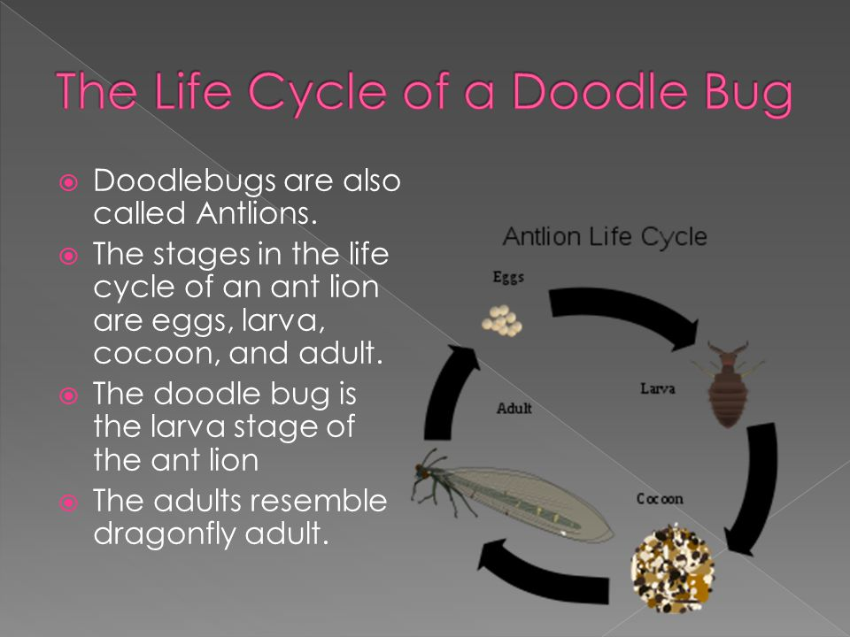 The Life Cycle of a Doodle Bug