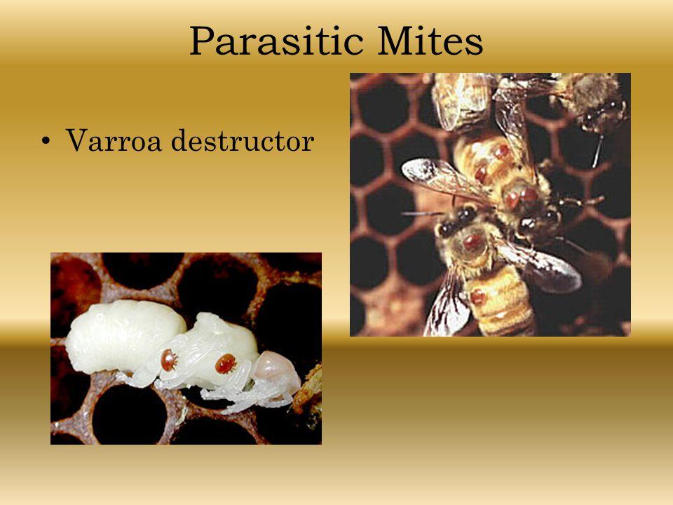 Parasitic Mites Varroa destructor