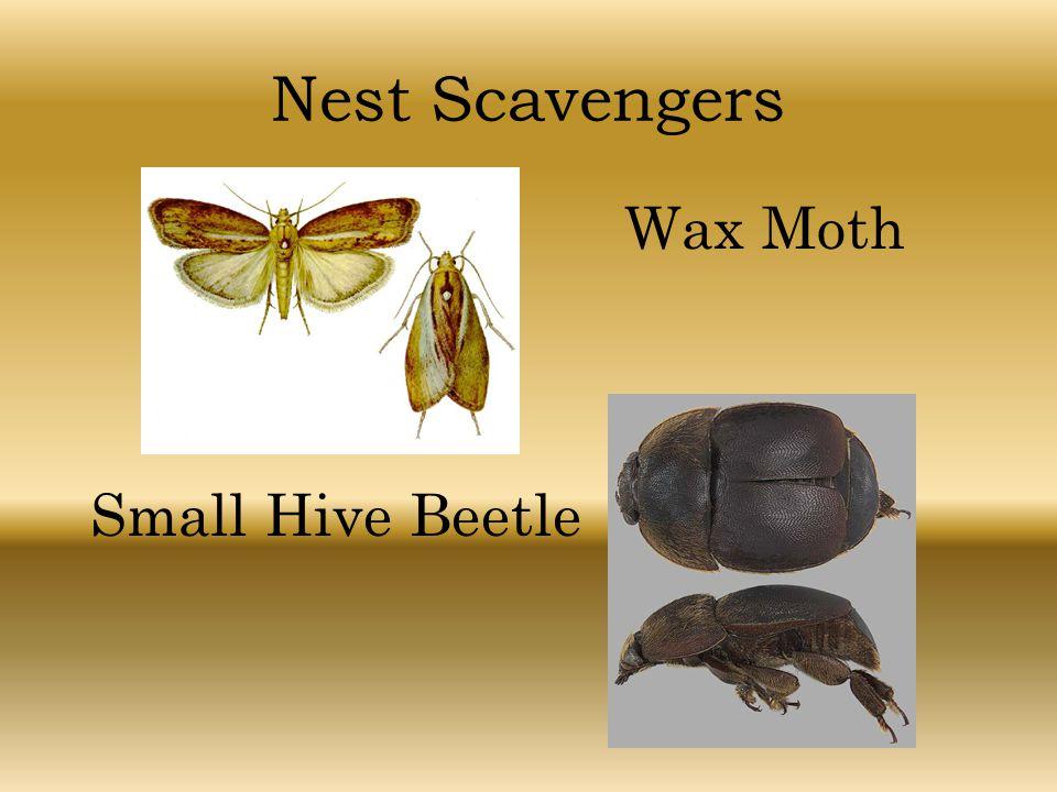 Nest Scavengers Wax Moth Small Hive Beetle