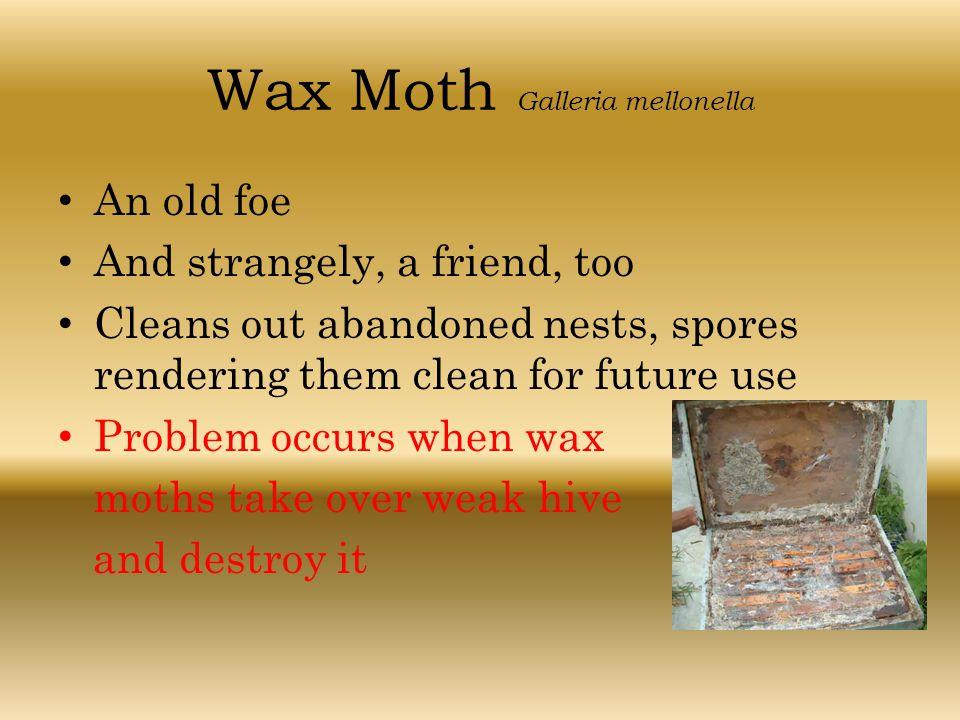 Wax Moth Galleria mellonella