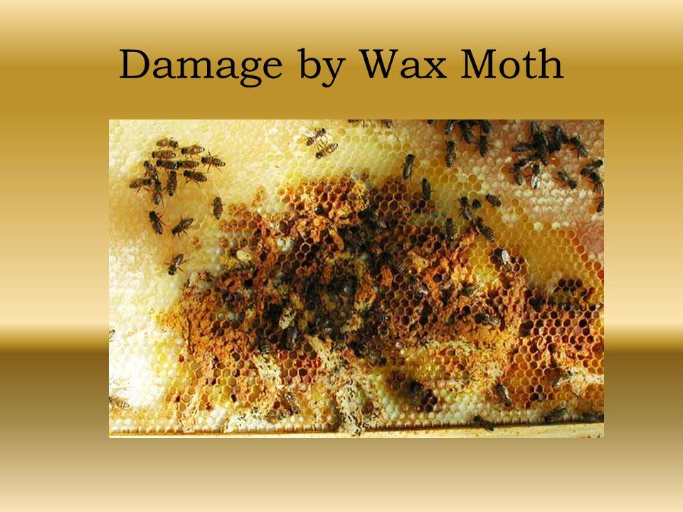 Damage by Wax Moth