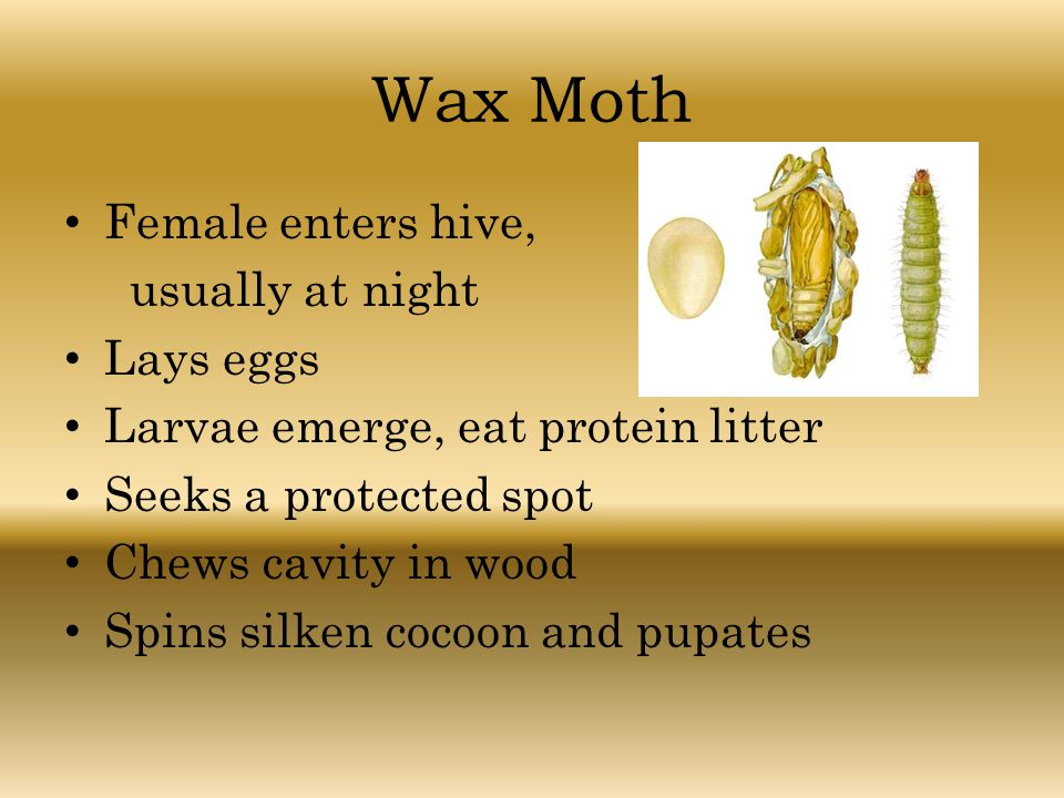 Wax Moth Female enters hive, usually at night Lays eggs