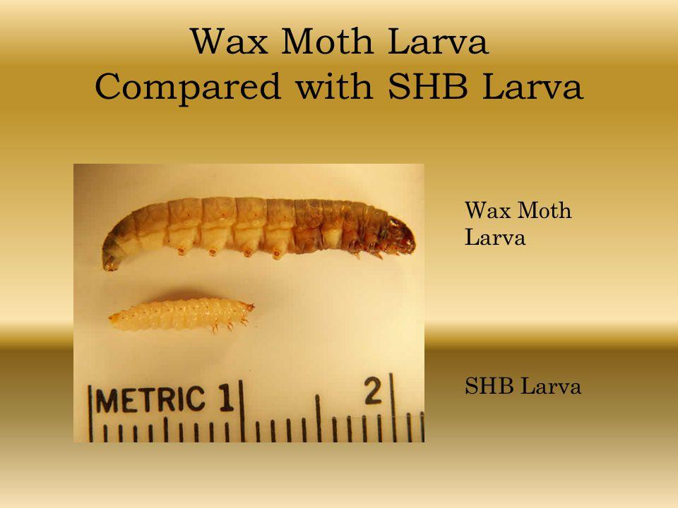 Wax Moth Larva Compared with SHB Larva