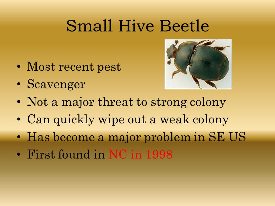 Small Hive Beetle Most recent pest Scavenger