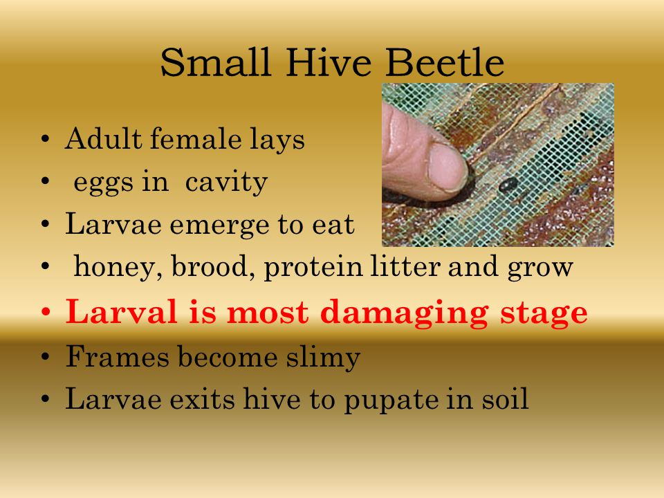 Small Hive Beetle Larval is most damaging stage Adult female lays