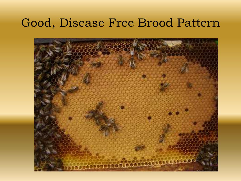 Good, Disease Free Brood Pattern