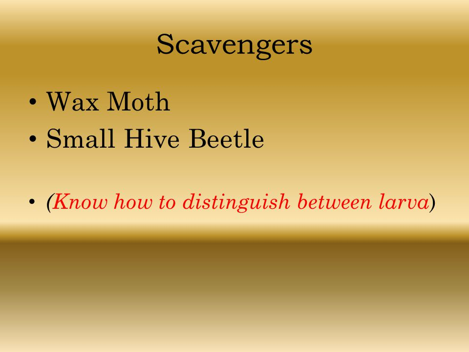 Scavengers Wax Moth Small Hive Beetle