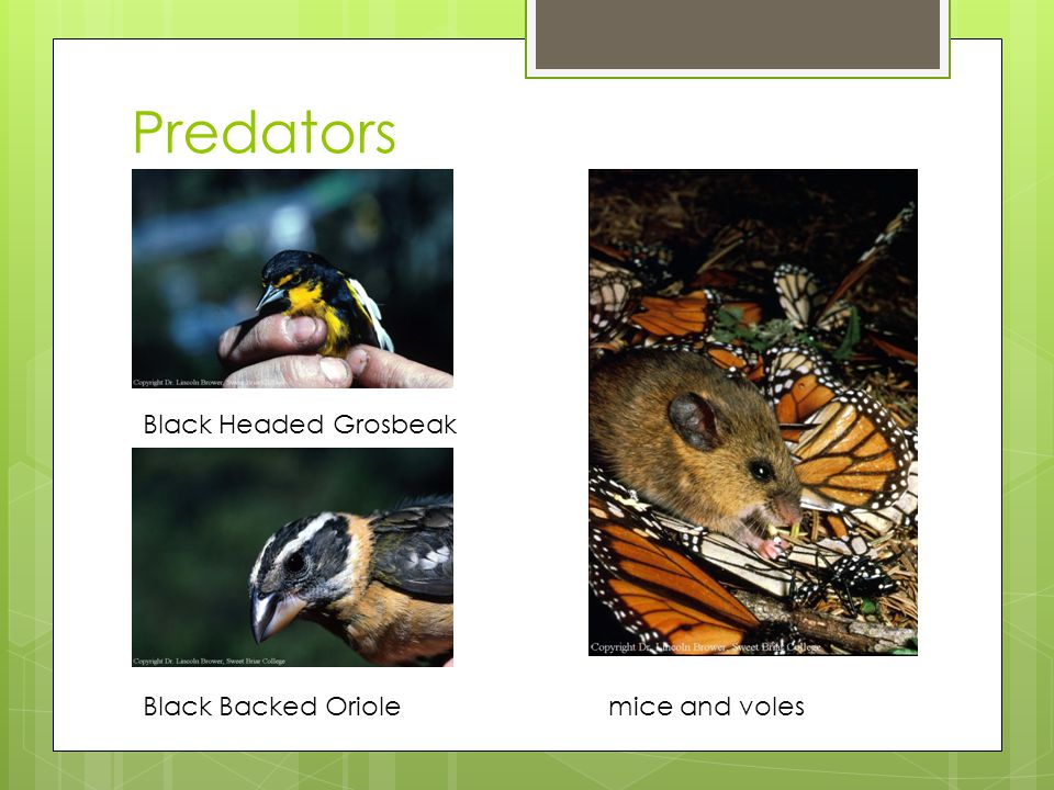 Predators Black Headed Grosbeak Black Backed Oriole mice and voles