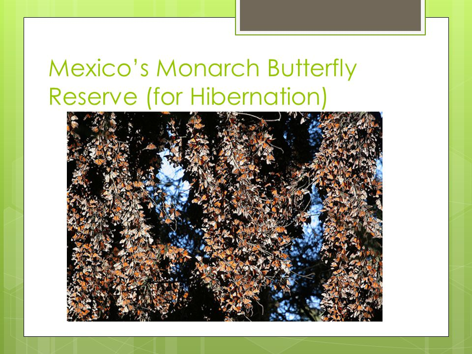 Mexico's Monarch Butterfly Reserve (for Hibernation)