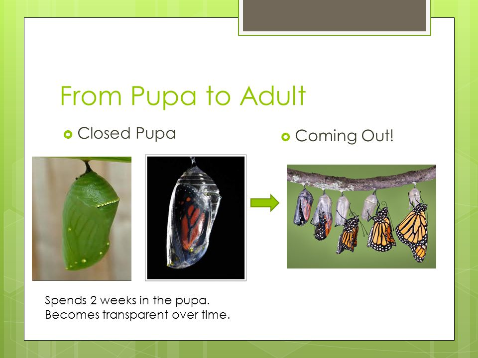 From Pupa to Adult Closed Pupa Coming Out!