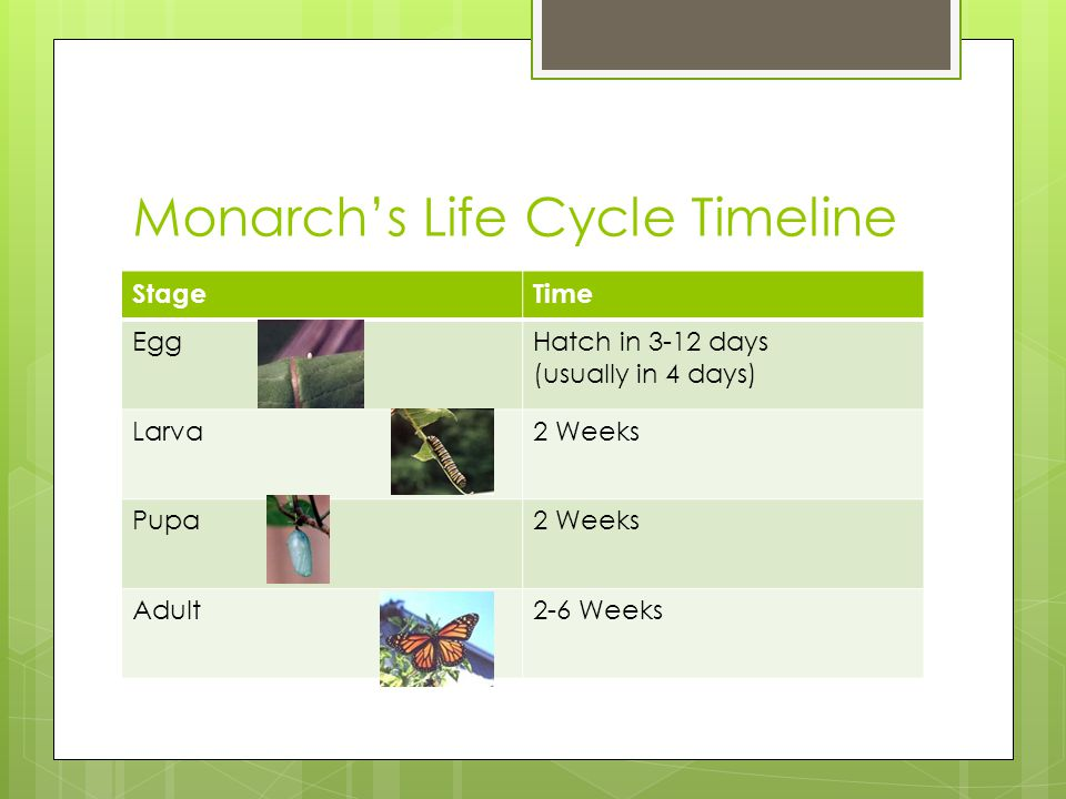 Monarch's Life Cycle Timeline