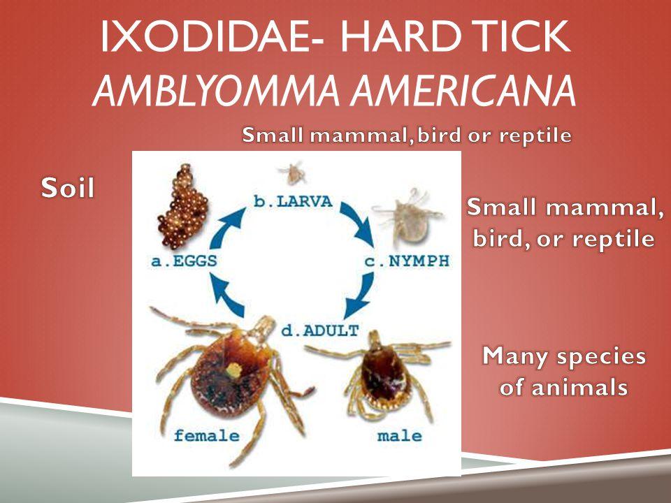 Ixodidae- hard tick Amblyomma americana