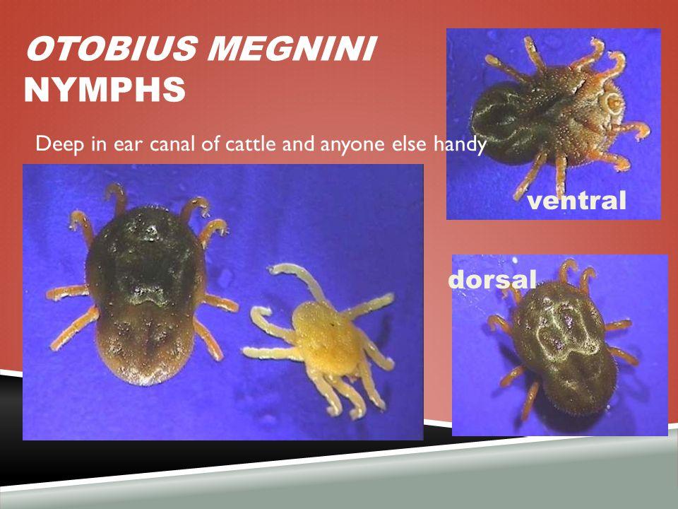 OTOBIUS MEGNINI nymphs