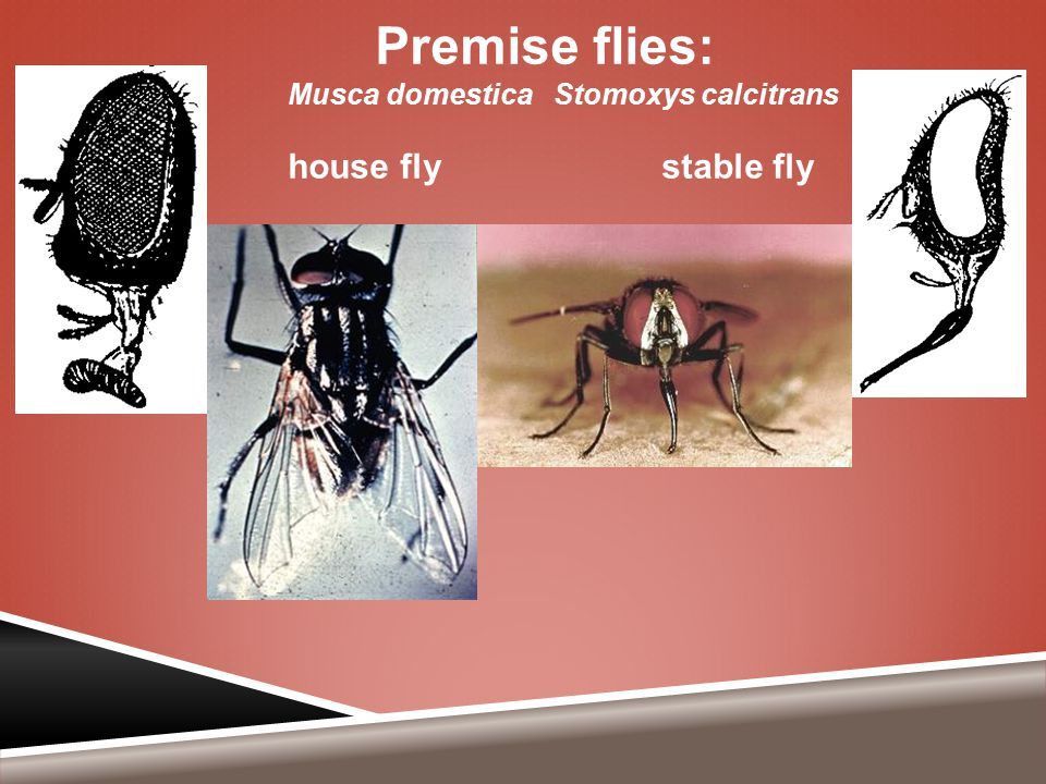 Premise flies: Musca domestica Stomoxys calcitrans