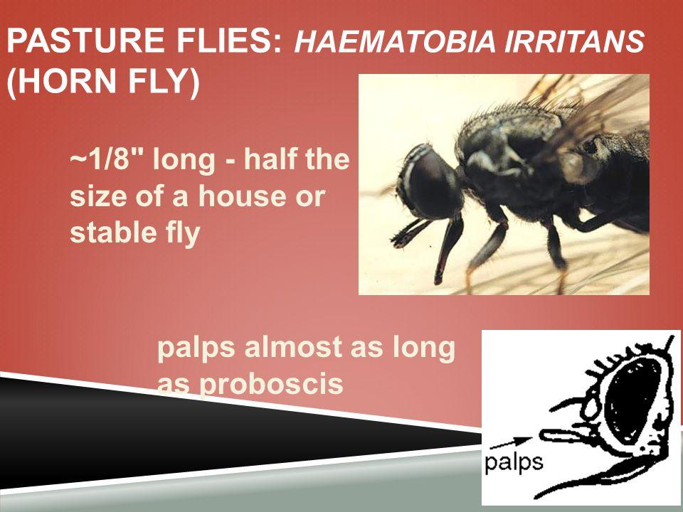 Pasture flies: Haematobia irritans (horn fly)