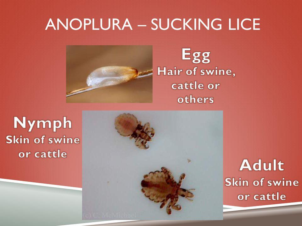 Anoplura – sucking lice