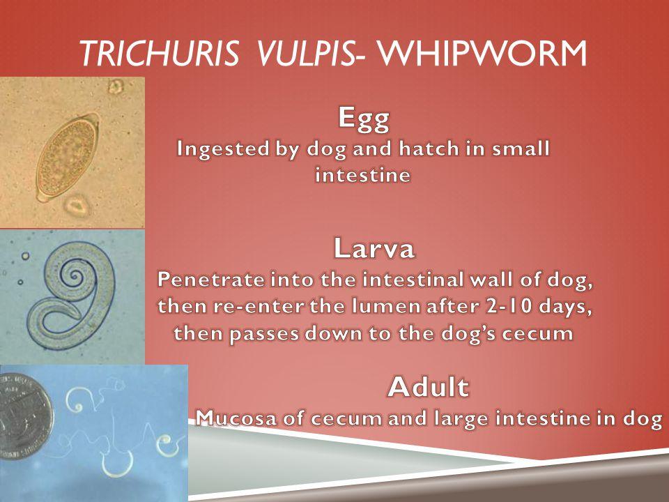 Trichuris vulpis- whipworm