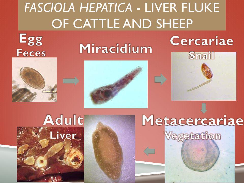 Fasciola hepatica - liver fluke of cattle and sheep