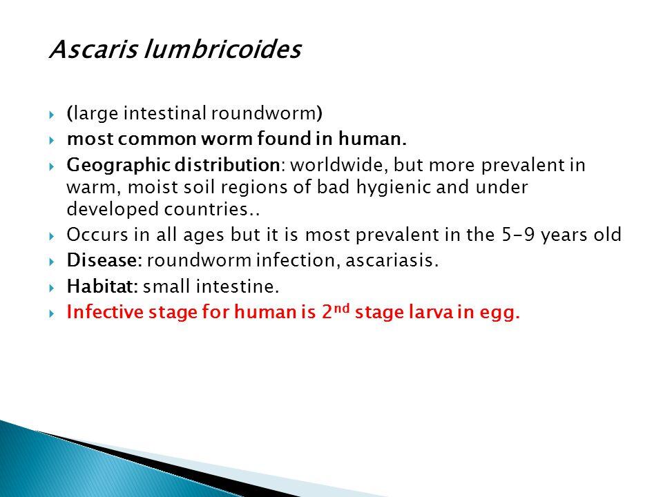 Ascaris lumbricoides (large intestinal roundworm)