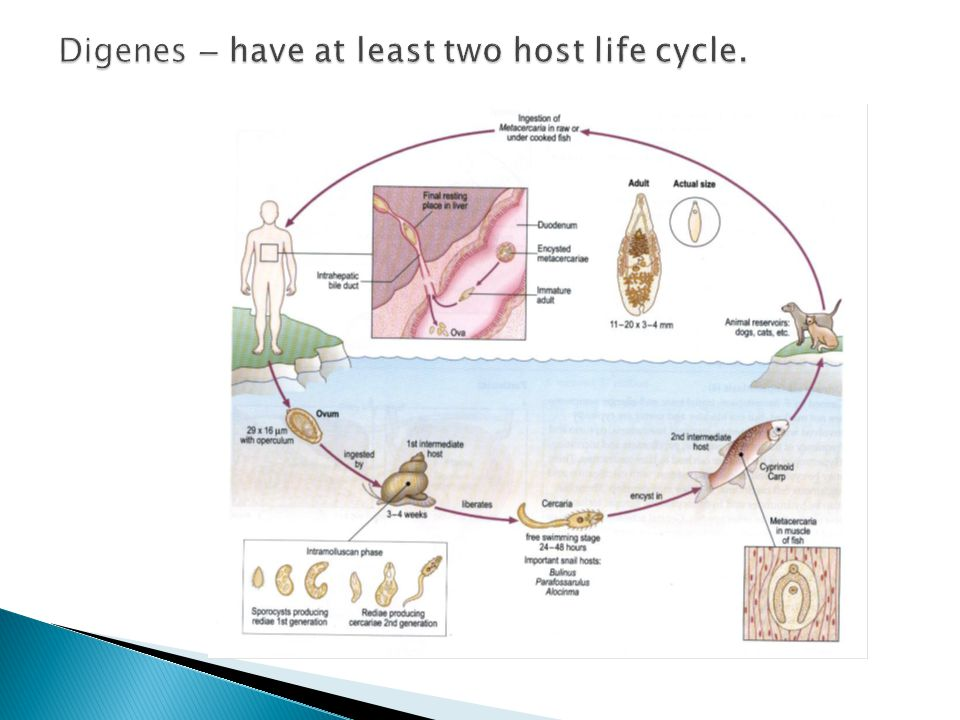 Digenes – have at least two host life cycle.