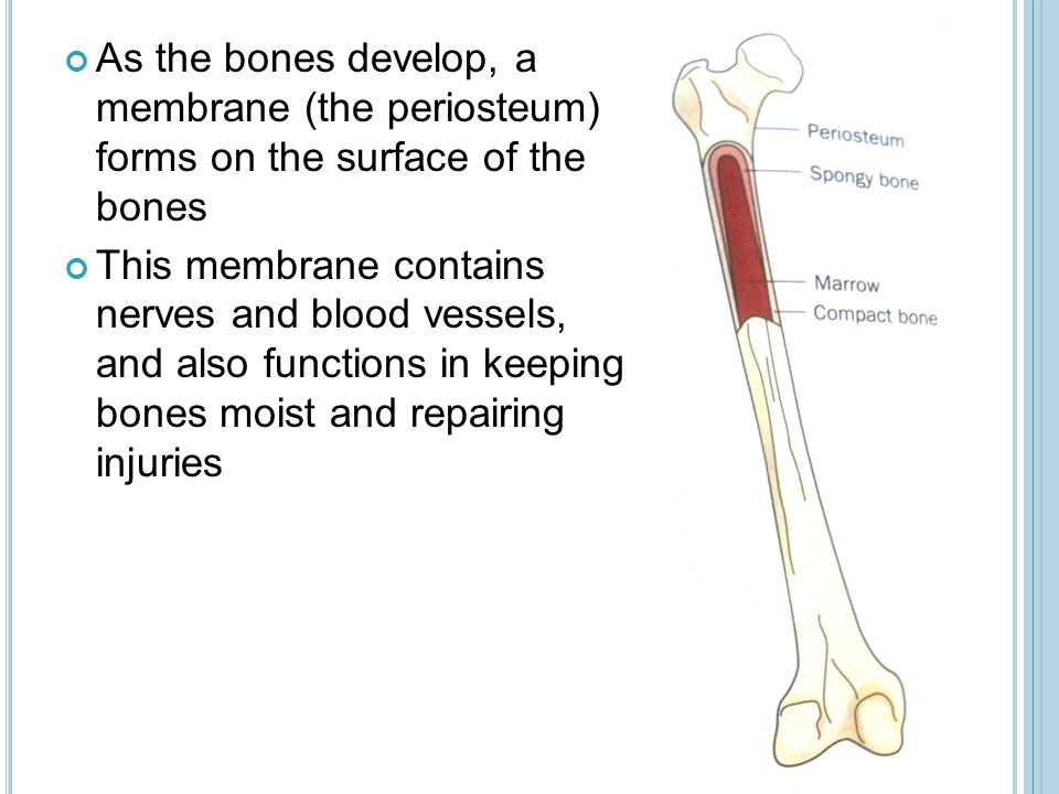 As the bones develop, a membrane (the periosteum) forms on the surface of the bones