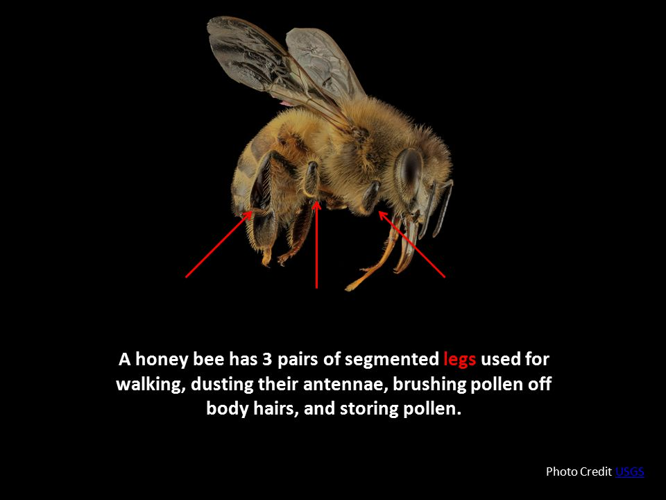 A honey bee has 3 pairs of segmented legs used for walking, dusting their antennae, brushing pollen off body hairs, and storing pollen.
