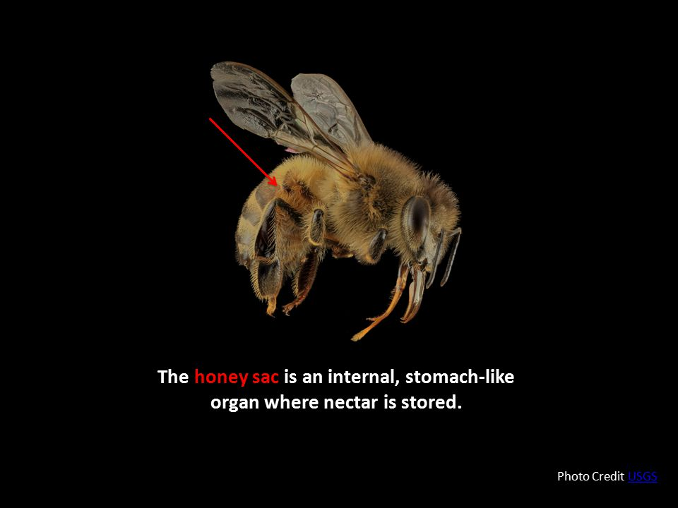 The honey sac is an internal, stomach-like organ where nectar is stored.