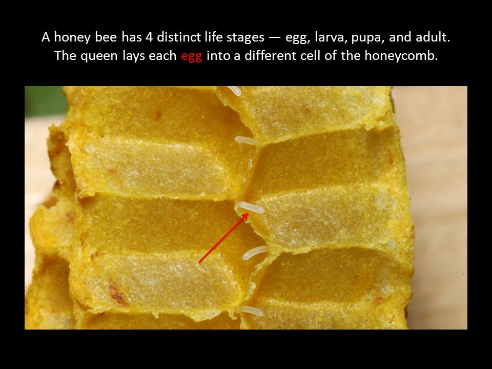 A honey bee has 4 distinct life stages — egg, larva, pupa, and adult
