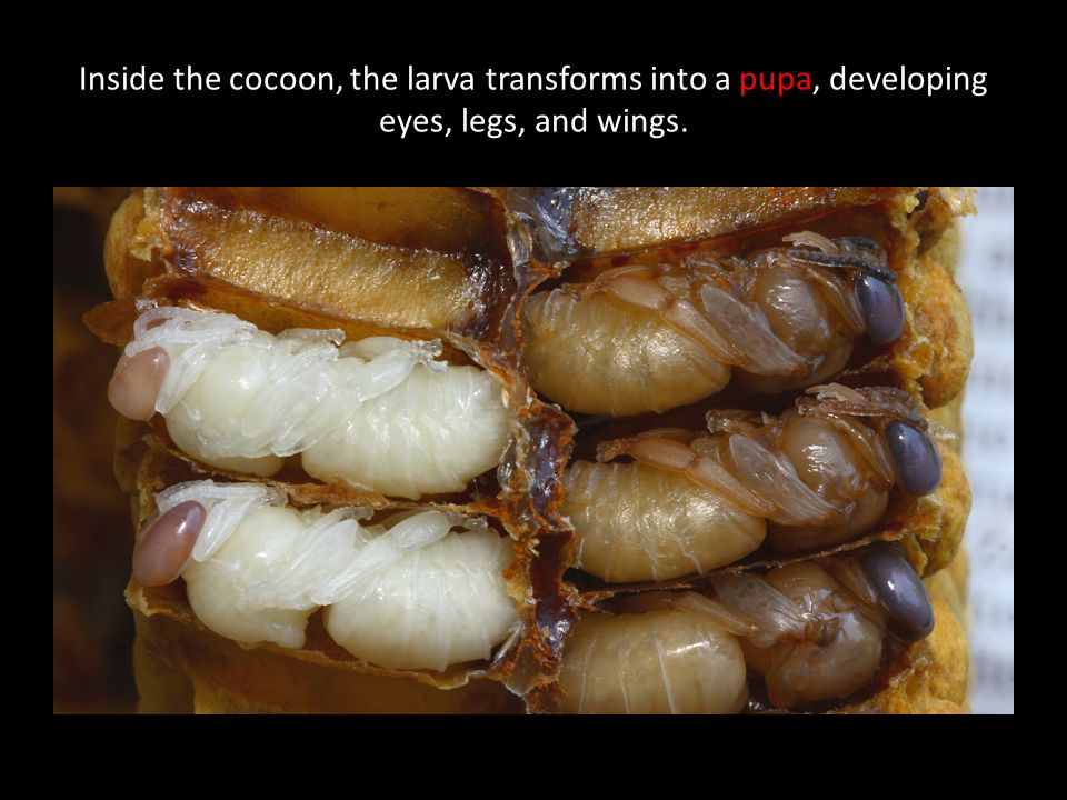 Inside the cocoon, the larva transforms into a pupa, developing eyes, legs, and wings.